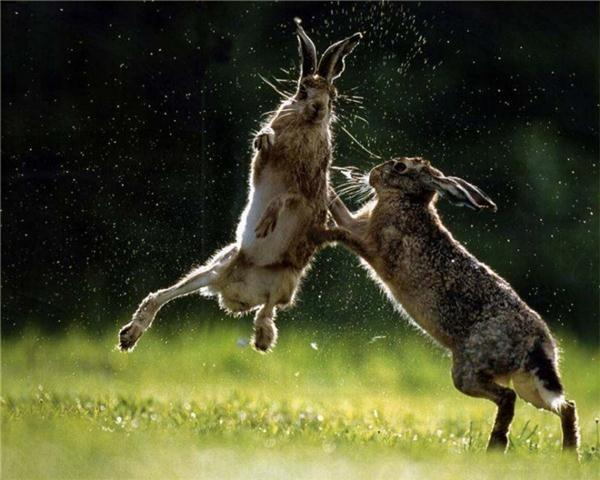 Bunnies-fighting